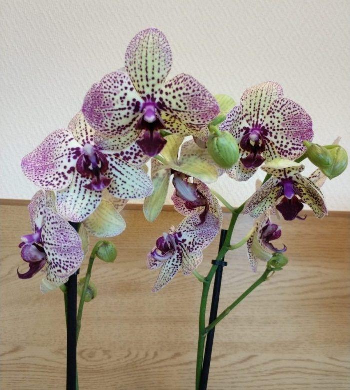 орхидея конфетка