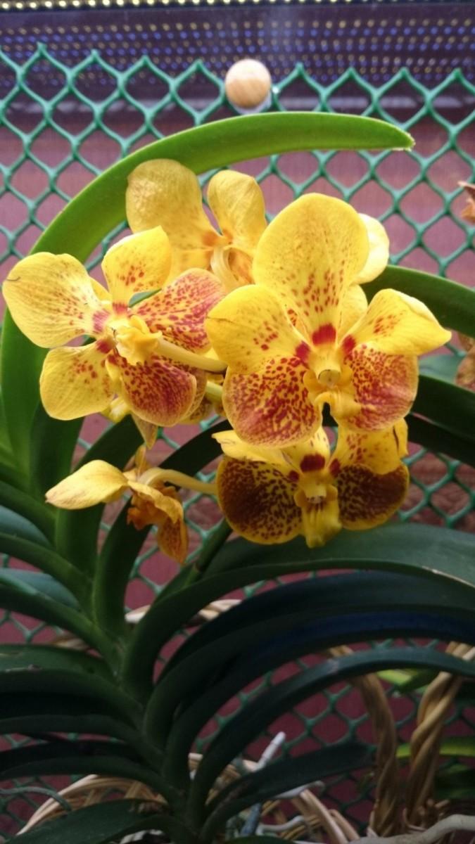желтая орхидея Ванда Солнечный зайчик