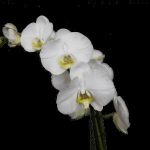 орхидея белый медведь