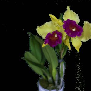 орхидея королева лета