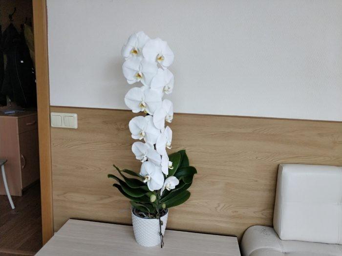 Фаленопсис Белые косы