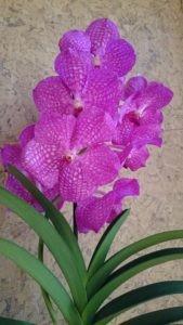 Выращивание орхидеи ванда в домашних условиях